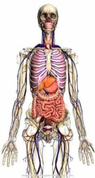 谷歌研制3D人体构造浏览器 可清晰观看人体内部